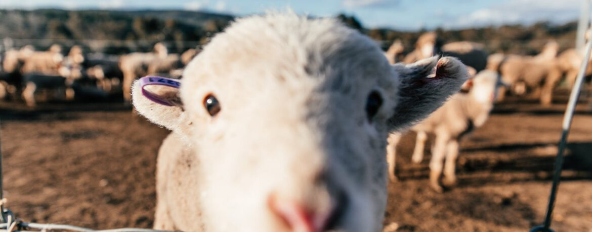 funny sheep standing in enclosure and sniffing camera